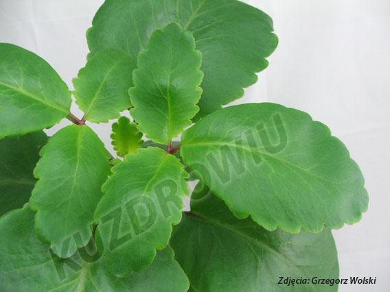 Kalanchoe Pinnata,roślina Zioła