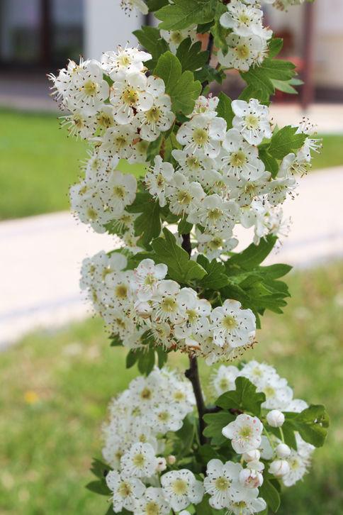 Kwiat Głogu